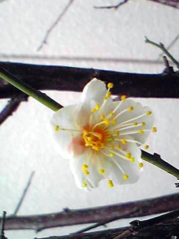 のん梅の開花です