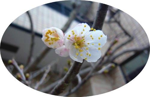 拓まんぼの開花